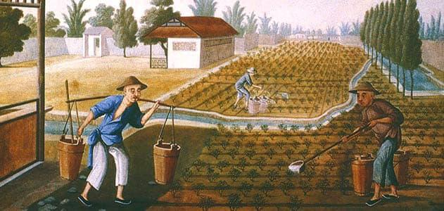 Репродукция чайных плантаций
