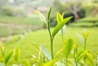 Свежий чайный лист