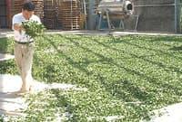 Завяливание чайного листа на солнце