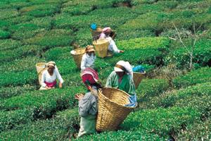 Современный сбор чая на плантации